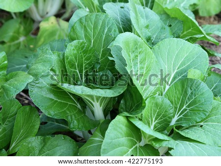 Healthy Asian greens including bok choy and misome - stock photo