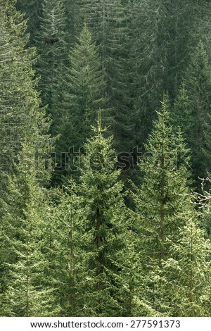 Healthy, big green coniferous trees in a forest of old spruce and fir trees in a national park, lit by bright yellow sunlight. Sustainable industry, ecosystem and healthy environment concepts.  - stock photo