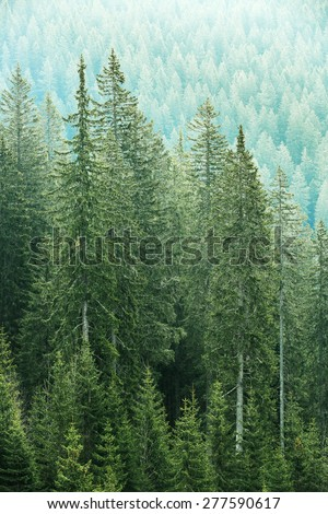 Healthy, big green coniferous trees in forest of old spruce, fir and pine trees in wilderness area of a national park. Sustainable industry, ecosystem and healthy environment concepts.  - stock photo
