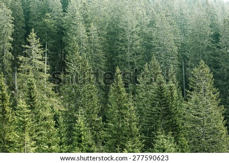 Healthy, green coniferous forest with old spruce, fir and pine trees in wilderness area of a national park. Sustainable industry, ecosystem and healthy environment concepts.  - stock photo