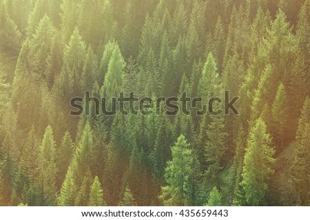 Healthy green trees in a forest of old spruce, fir and pine trees in wilderness of a national park, lit by bright yellow sunlight. Sustainable industry, ecosystem and healthy environment concepts.