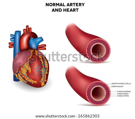 Healthy human elastic artery and heart, detailed illustration - stock photo