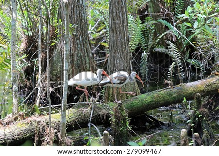 Healthy Ibis in the cypress swamp at Grassy Waters in West Palm Beach, Florida - stock photo