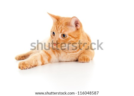 Healthy red cat lying on the floor - stock photo