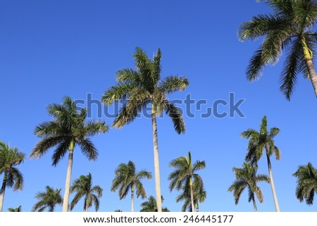 Healthy royal palm trees, a symbol of Palm Beach, Florida - stock photo