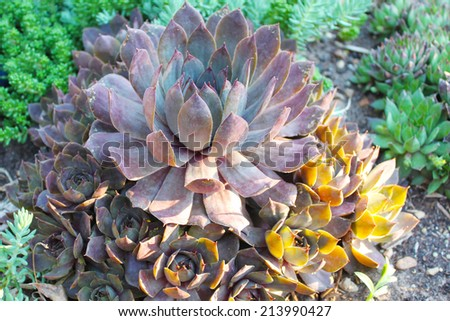 Healthy succulents - stock photo