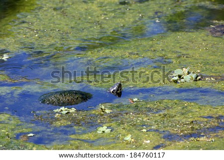 Healthy turtle in an algae covered pond partially submerged - stock photo