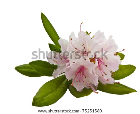 Healthy Washington State pink rhododendron in spring - stock photo