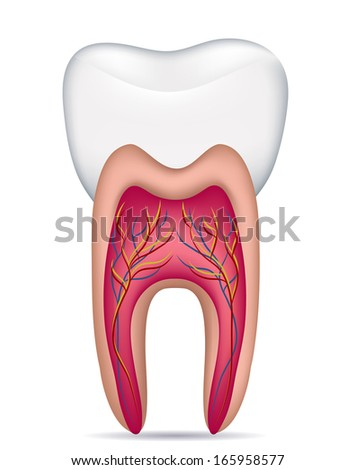 Healthy white tooth illustration, detailed anatomy. Isolated on a white background. - stock photo