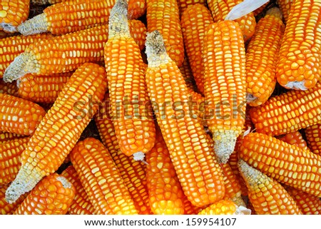 Heap of dried corn. - stock photo