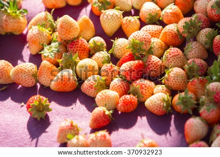 Heap of fresh ripe and half ripe strawberries after harvesting on purple cloth under morning sunlight. - stock photo