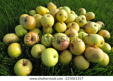 Heap of the ripe winter cultivar apples lying on the fresh lawn grass in the sunny autumn garden - stock photo
