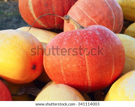 Heap of yellow and orange pumpkins in the vegetable garden.  - stock photo