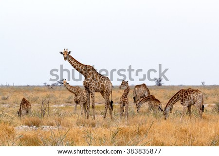 heard of Giraffa camelopardalis in plain of Etosha national Park, Ombika, Kunene, Namibia, true wildlife - stock photo