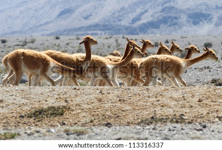 Heard of vicu���±a or vicunga , a camelid specie specific to the Andes highlands in South America. - stock photo