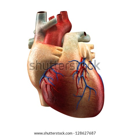 Heart - Anatomy of Human Heart Isolated on white - stock photo