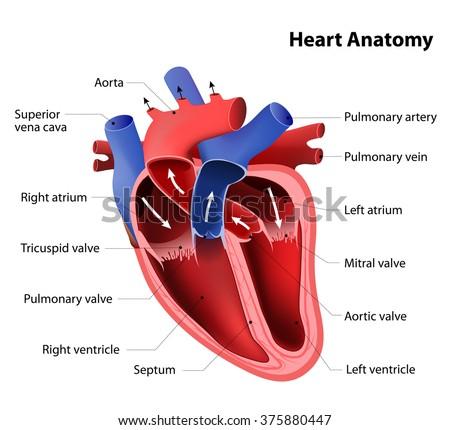 heart anatomy. Part of the human heart - stock photo