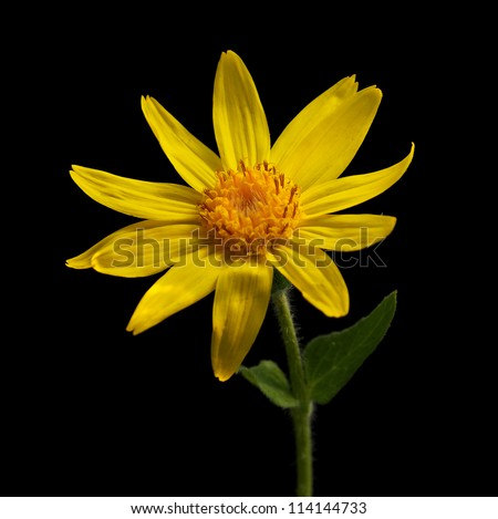 Heart-leaf Arnica on black background - stock photo