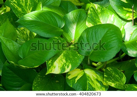 heart leaf philodendron - stock photo