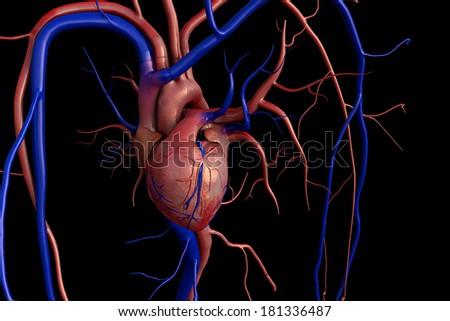 Heart model, heart, Human heart model, Full clipping path included, Human heart for medical study, Human Heart Anatomy  - stock photo