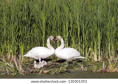Heart shape swan necks with three young swans look on, with copy space in the marsh reeds - stock photo