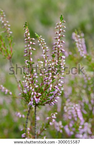 heather flowers soft - stock photo