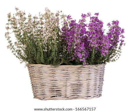 Heather in basket isolated on white - stock photo