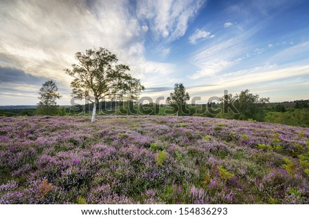 Heather in bloom in the New Forest - stock photo