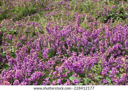 Heather in Ile aux Moines, Morbihan gulf, Brittany, France in summer - stock photo