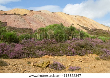 Heather leads to a Broom plant, Cytisus scoparius, with green foliage and black seed pods with a mound of colored earth and blue sky in the background. - stock photo
