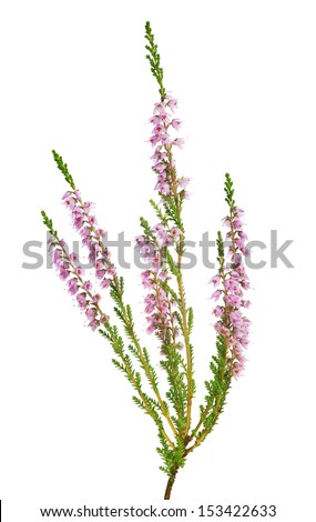 heather with light pink flowers isolated on white background - stock photo