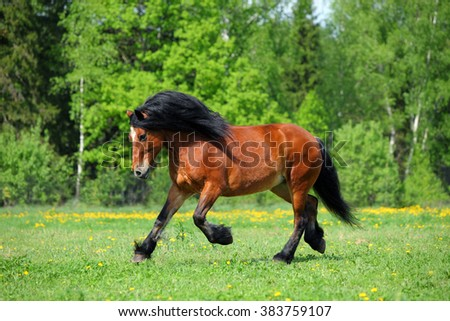 Heavy draft horse runs gallop on the meadow - stock photo