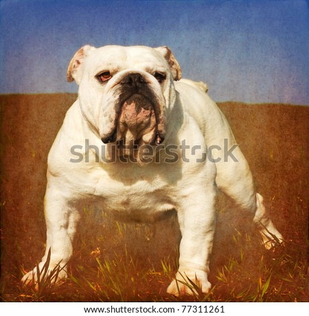 Heavy textured vintage look portrait of white male english bulldog standing in the grass - stock photo