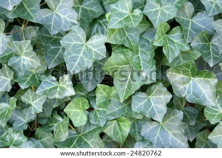 Hedera helix patch - stock photo
