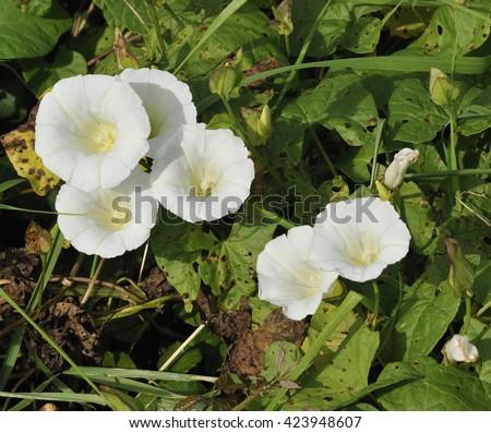 Hedge Bindweed - Calystegia sepium - stock photo