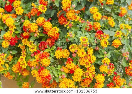 Hedge Flower, Weeping Lantana, Lantana camara Linn. - stock photo