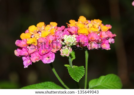 Hedge Flower, Weeping Lantana, Lantana camara Linn - stock photo
