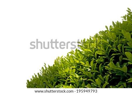 Hedge isolated on White Background / Close up of green leaves of a hedge isolated on white background - stock photo