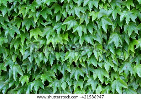 hedge of ivy and vine covers Italian villas and gardens - stock photo
