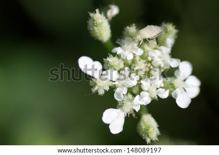 Hedge Parsley going to Seed. - stock photo