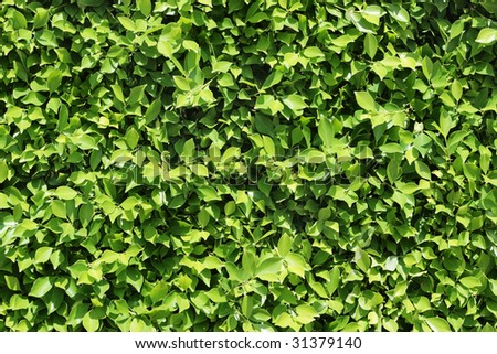 Hedge pattern. Green tree leafs - stock photo
