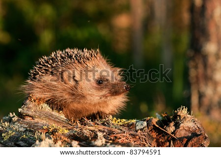 Hedgehog. A hedgehog in beams of the coming sun on the fringe of the forest. - stock photo