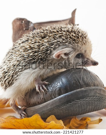 Hedgehog and boot. Studio shooting. - stock photo