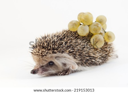Hedgehog and grapes on white - stock photo