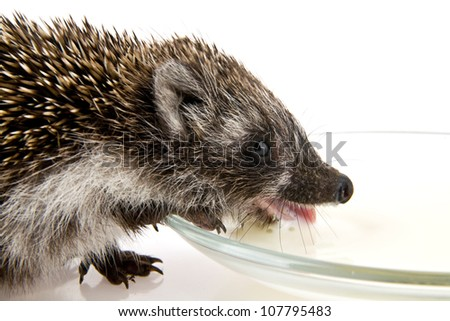 hedgehog and milk in a dish on a white background - stock photo