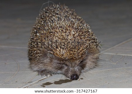 Hedgehog at night - stock photo