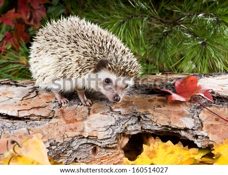 Hedgehog (Atelerix albiventris) on a log in a forest in autumn - stock photo