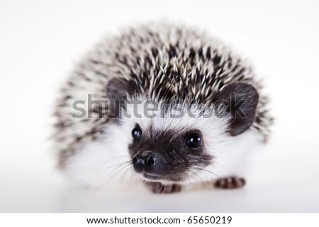 Hedgehog, Autumnal animal - stock photo