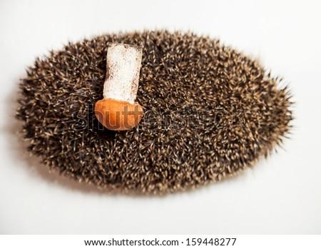 Hedgehog carrying mushroom - stock photo