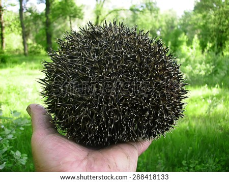 hedgehog curled up in the hands of a man - stock photo